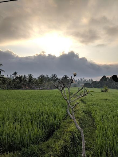 watching the sunset while walking on the rice fiels